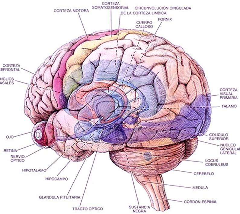 Neurophysiology and Learning Paper
